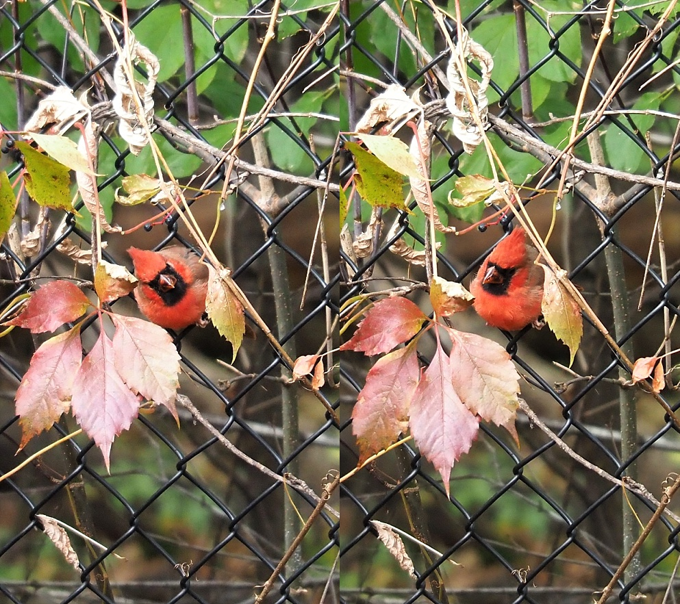 Two shots of male nothern cardinal in fence, with head cocked to left and the to right