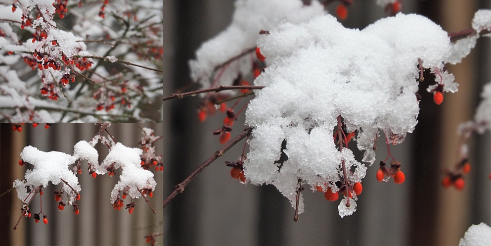 3-photo collage of flame bush in winter - red berries and snow