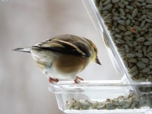 Goldfinch peeking around corner of feeder.