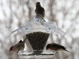 Three house finches at feeder