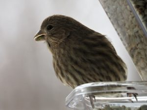 Close-up of finch with seed detritus on beak.