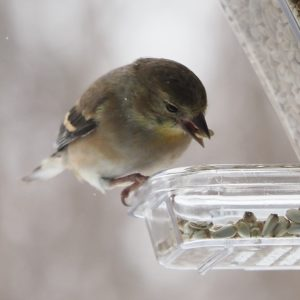 American goldfinch with single seed in beak.