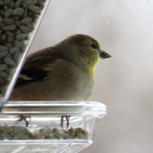 American goldfinch staring dreamily off into the distance.