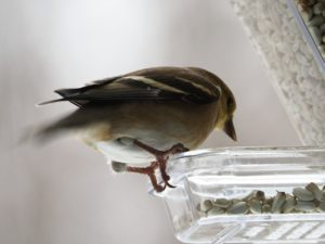 American goldfinch perched on window feeder.