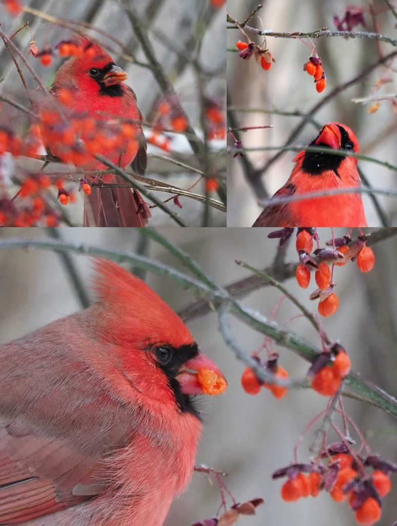3-photo collag eof male northern cardinals eating flame-bush berries