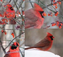 Male northern cardinals eating berries from flame bush