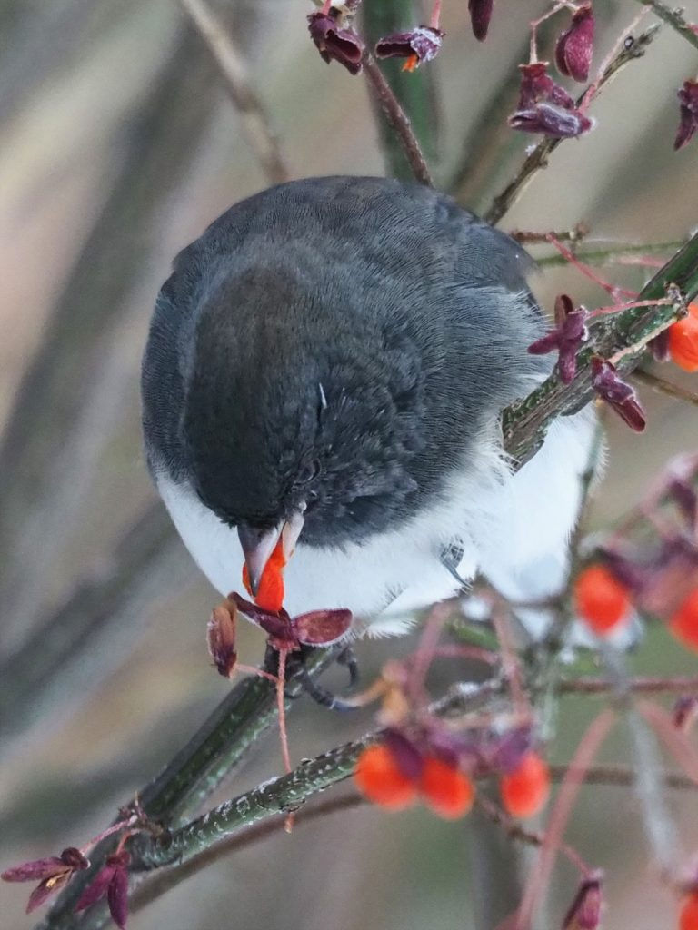 Junco eating flame bush berries