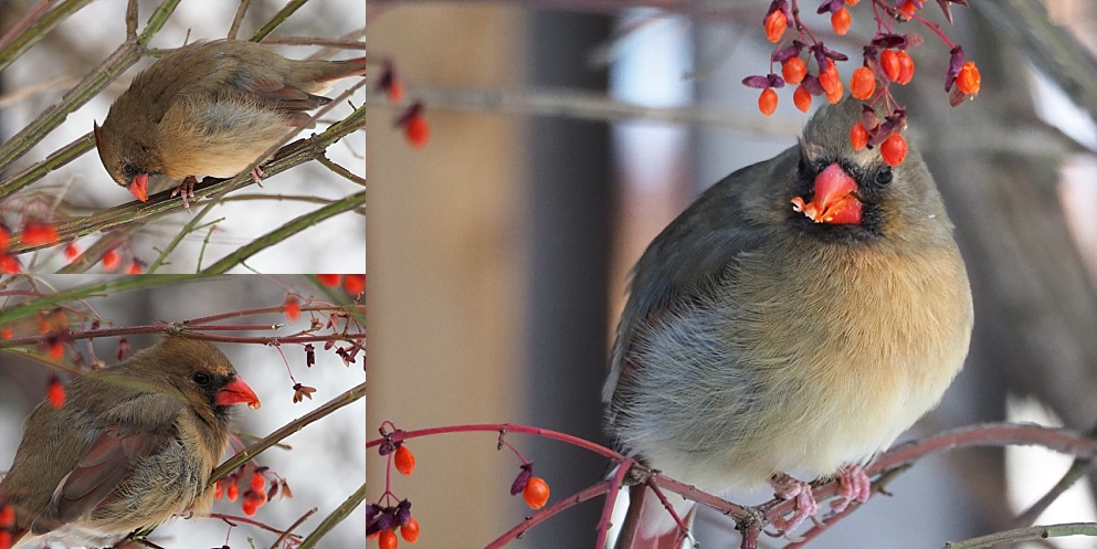 3-photo collage of femalenorthern cardinals in flame bush eating berries