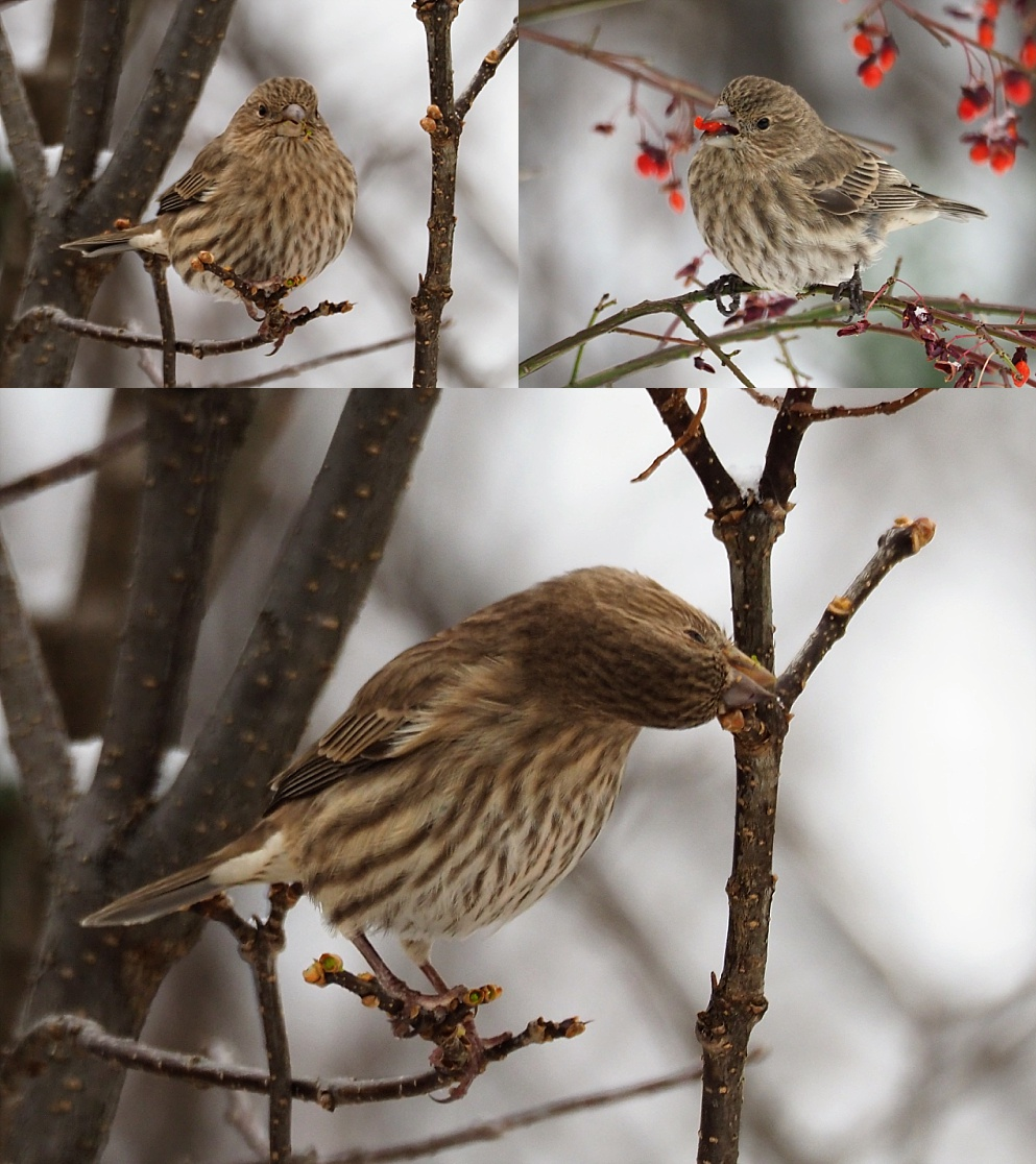 House ficnhes eating berries and leaf buds