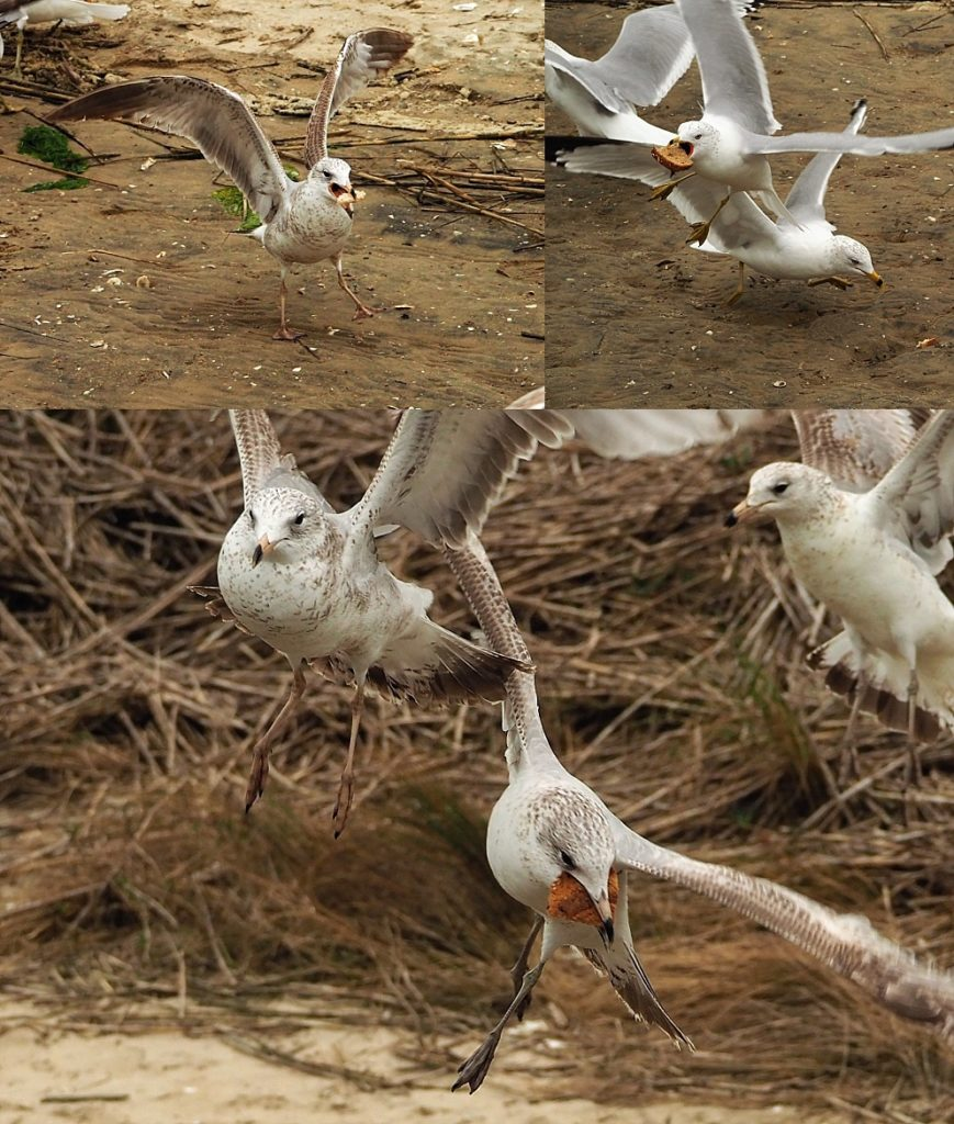 3-photo collage of gulls chasing stale bread