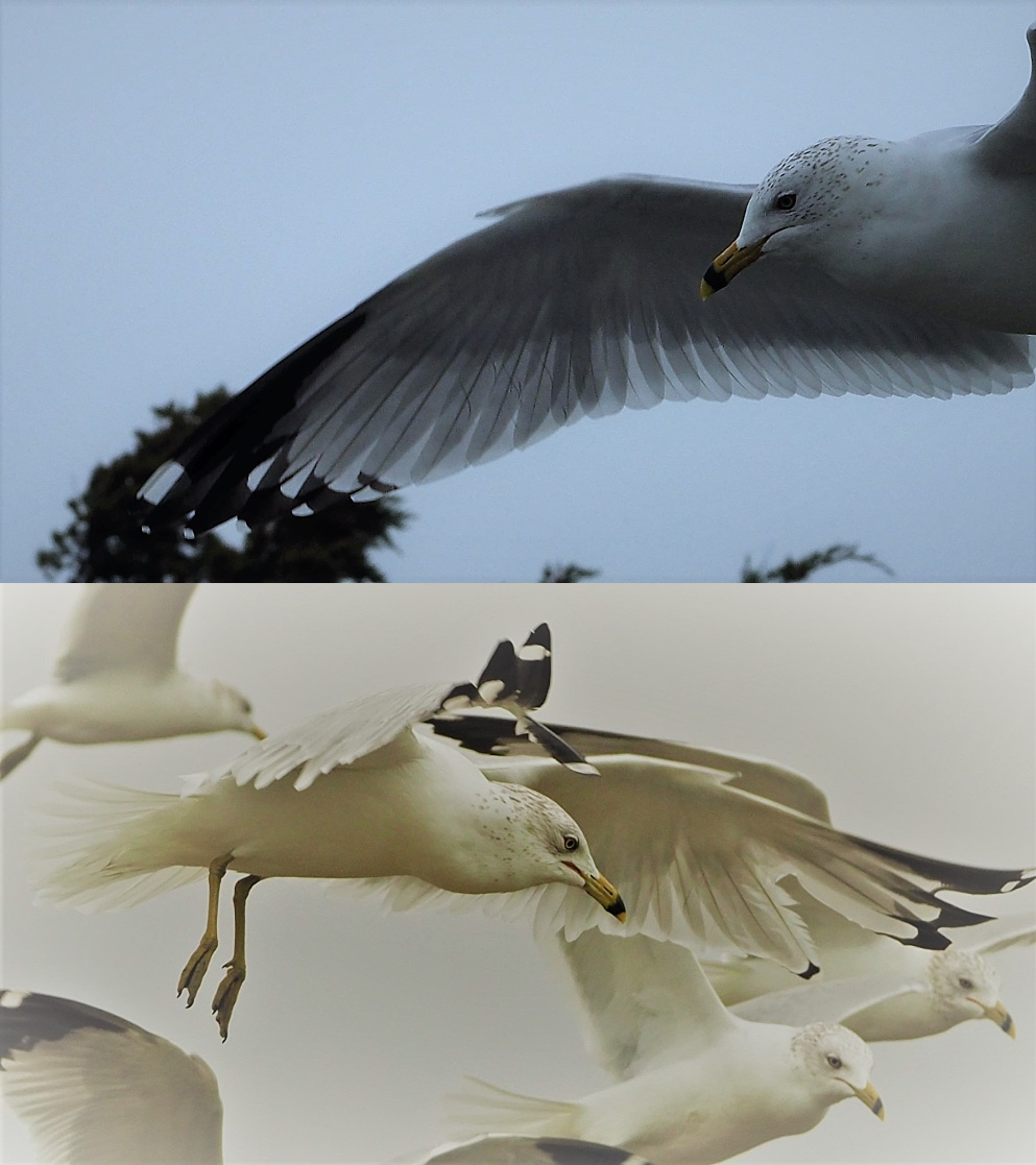2-photo collage of striking gulls