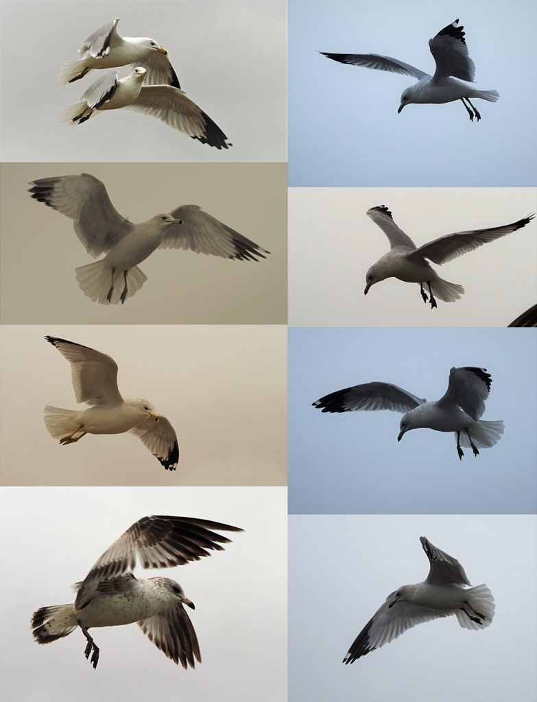 8-photo vollage of gulls aloft