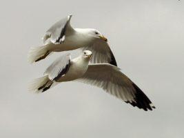 2 airborne gulls, almost spooning