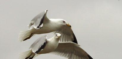 Gulls, Myrtle Beach