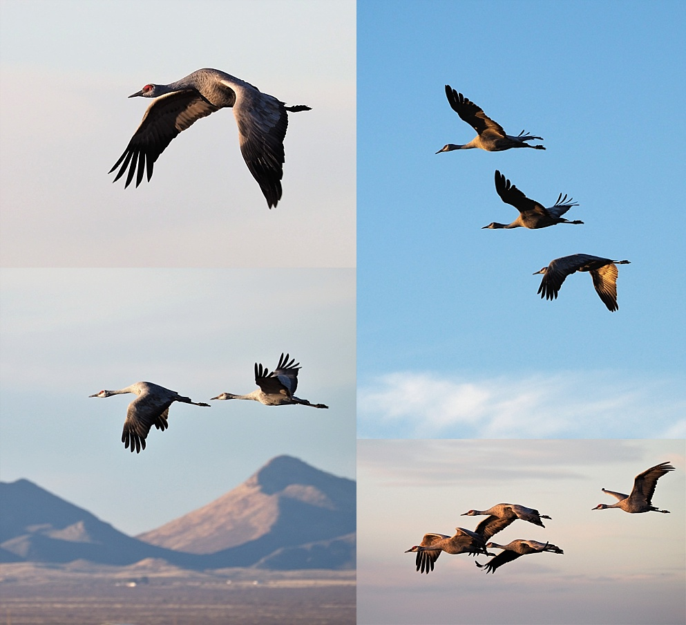 4-photo collage of sandhill cranes in flight