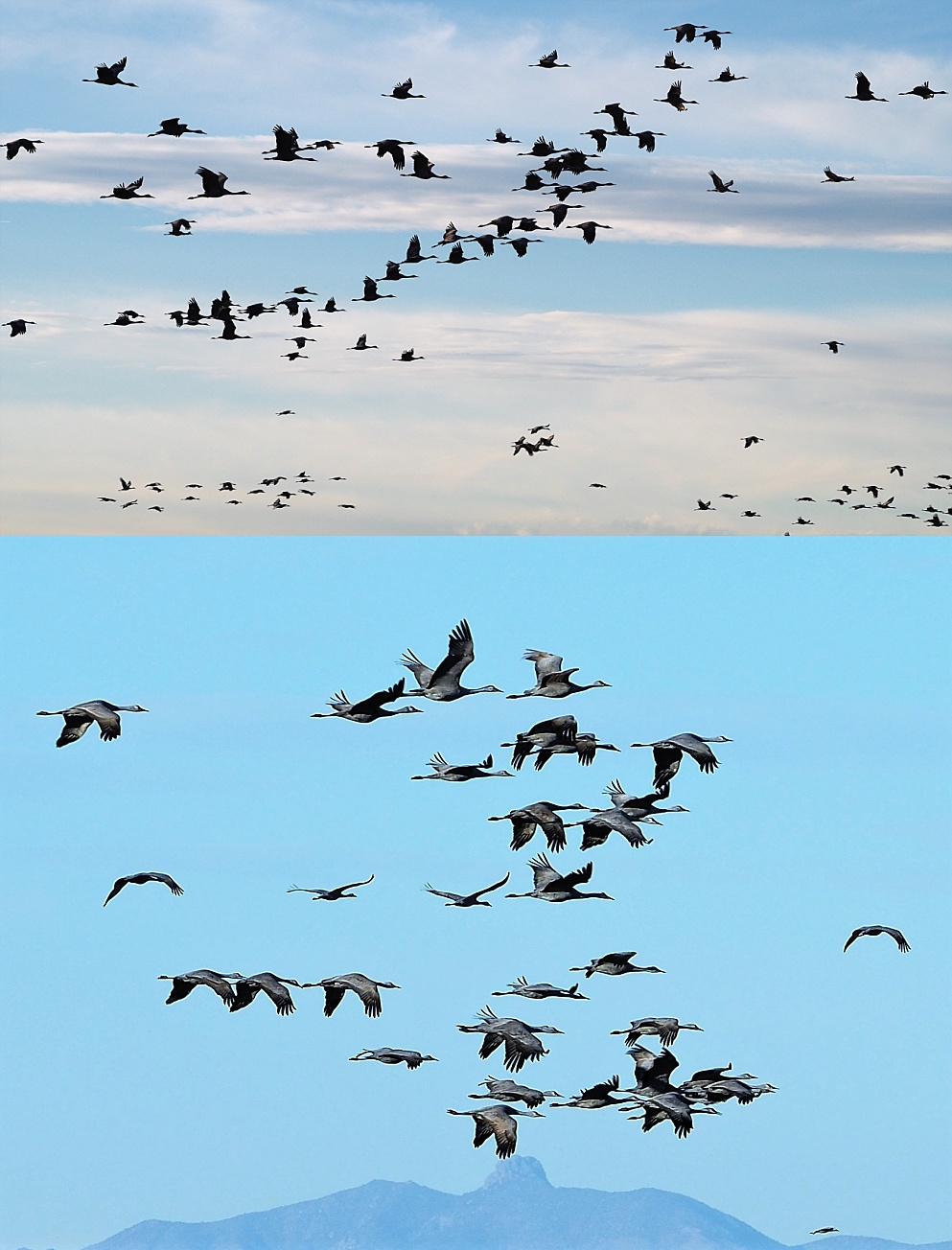 2-photo collage of flocks of sandhill cranes in flight