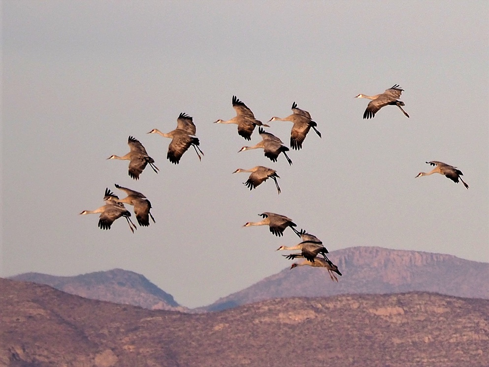Sandhill cranes, preparing to land