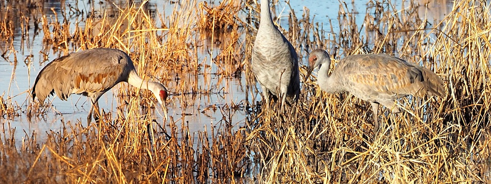 2-photo collage of sandhill cranes in a marsh