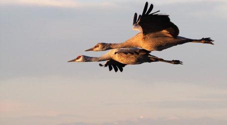 Sandhill Cranes, Whitewater Draw, AZ