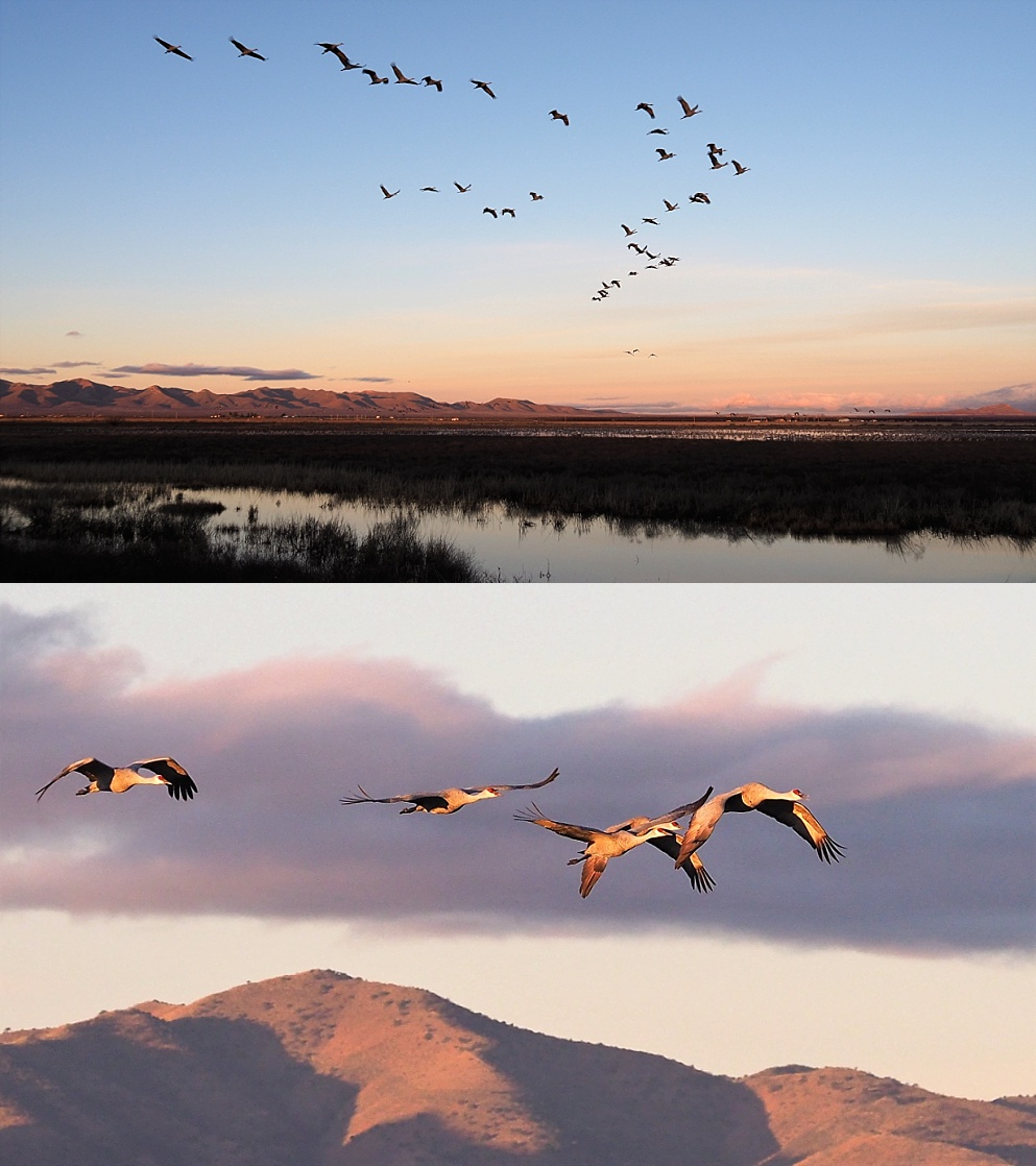 2-photo collage of sandhill cranes flying at sunrise