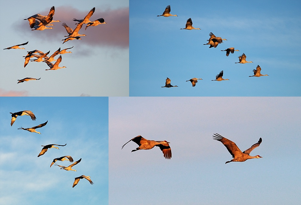 4-photo collage of sandhill cranes in flight at sunrise