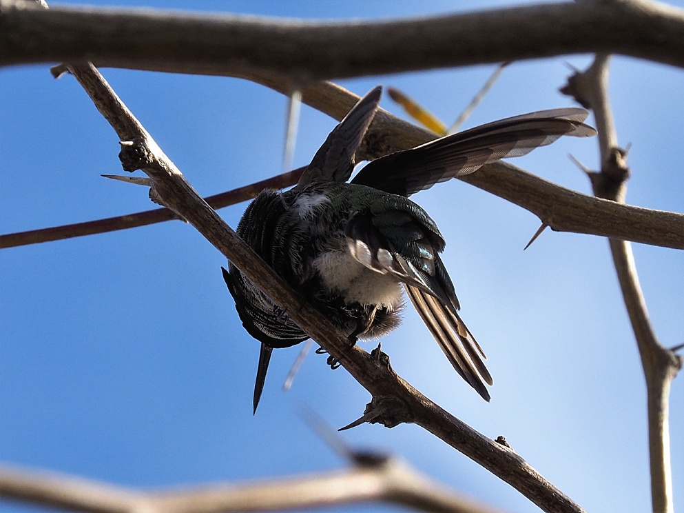 Anna's hummingbird perched, with wings spread