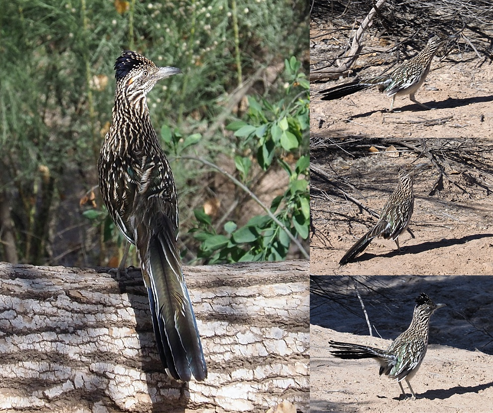 4-photo collage of roadrunners taken with short lens