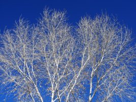 Cottonwood tree, bare of leaves
