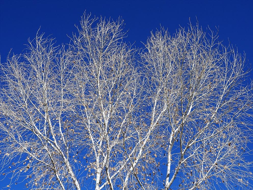 Cottonwood tree, bare of leaves