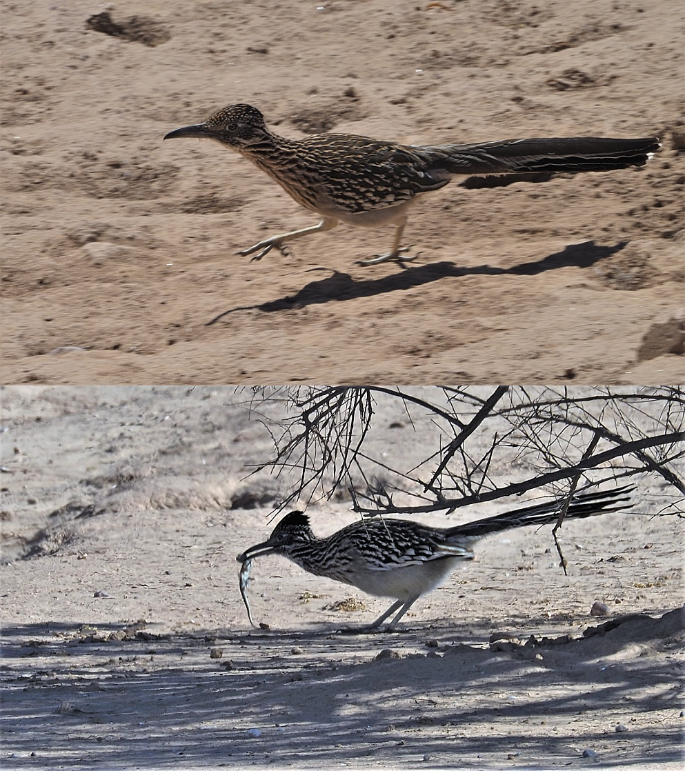 2-photo collage of roadrunner with lizard in beak