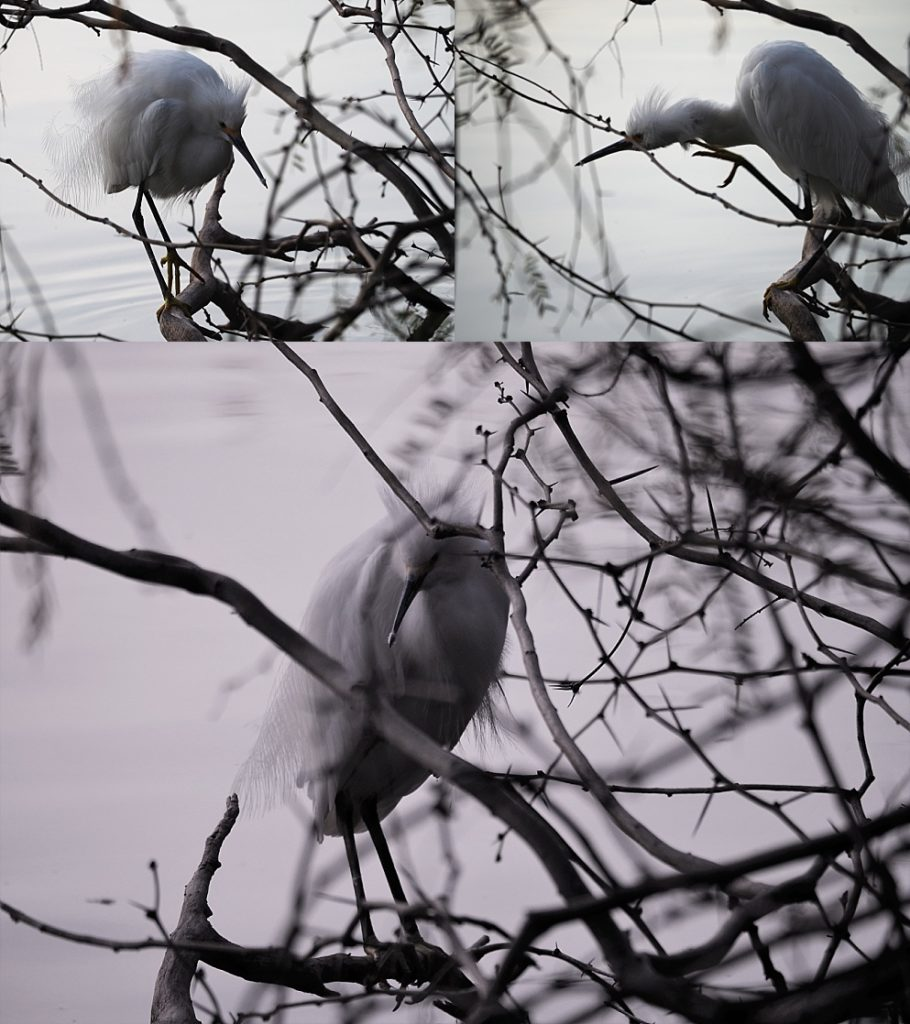 3-photo collage of snowy egret lurking under bare branches