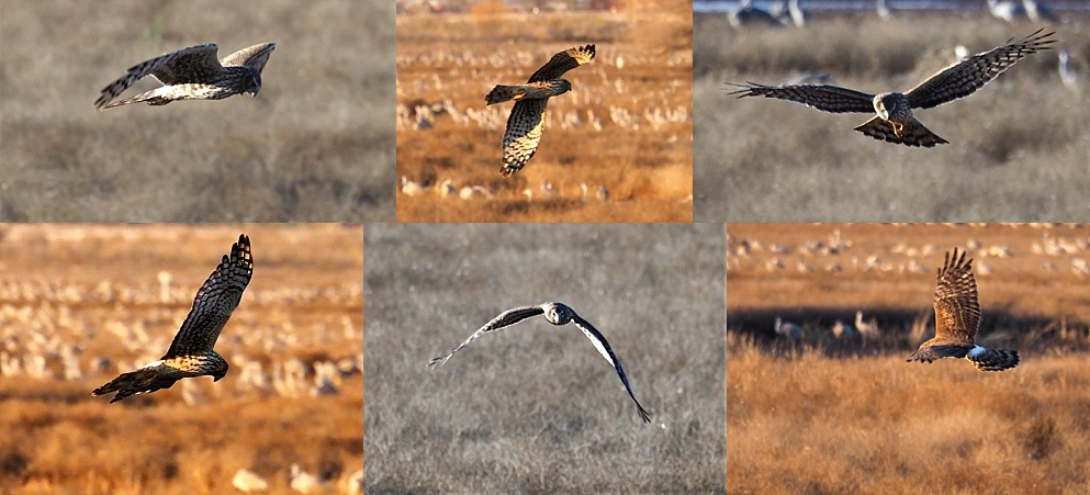 6-photo collage of northern harrier at Whitewater Draw.