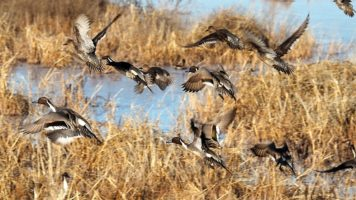 Ducks flushing in alarm over northern harrier
