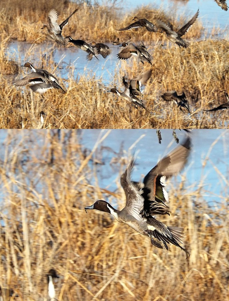 2-photo collage of ducks fleeing a northern harrier.