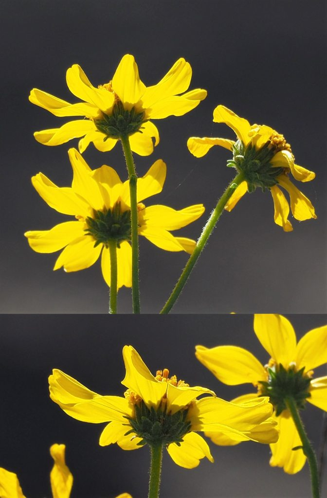 2-photo collage of yellow desert daisies