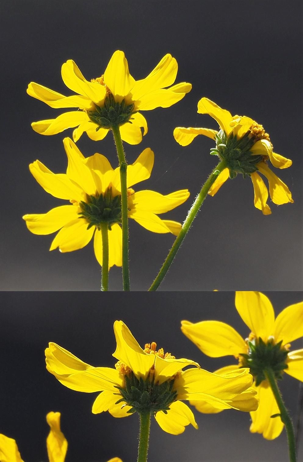 2-photo collage of yellow desert daisies