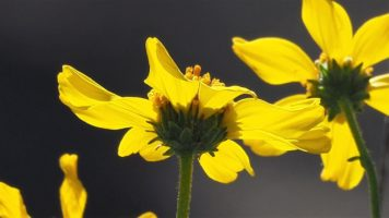 Underside view of backlit yellow flower