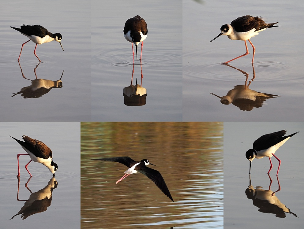6-photo collage of black-necked stilts and their reflections