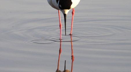 Black-necked Stilts, Gilbert AZ (Again)