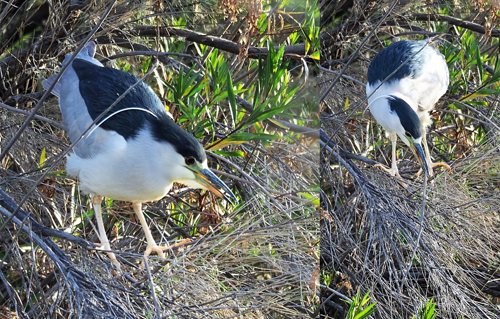 2-photo collage of black-crowned night heron