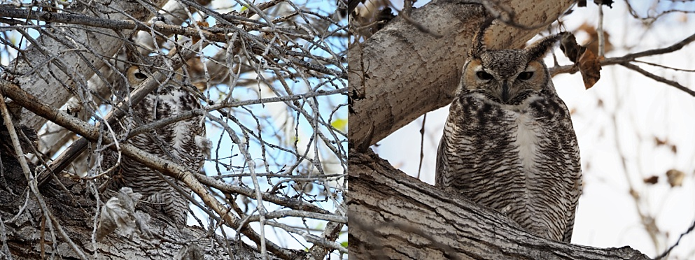 Great horned owl resting on a branch