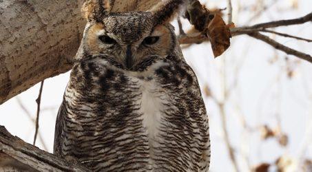 Great Horned Owls, Gilbert AZ
