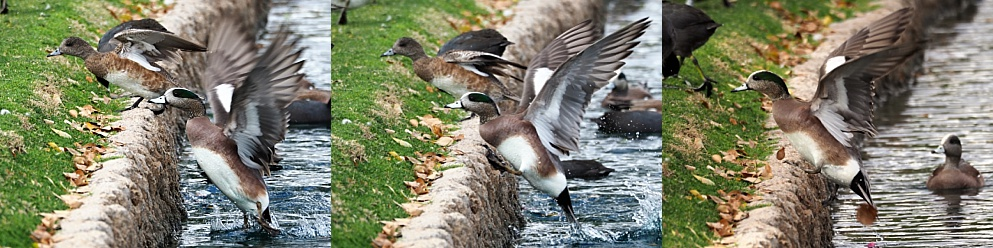 3-photo collage of American wigeons walking up a pond wall