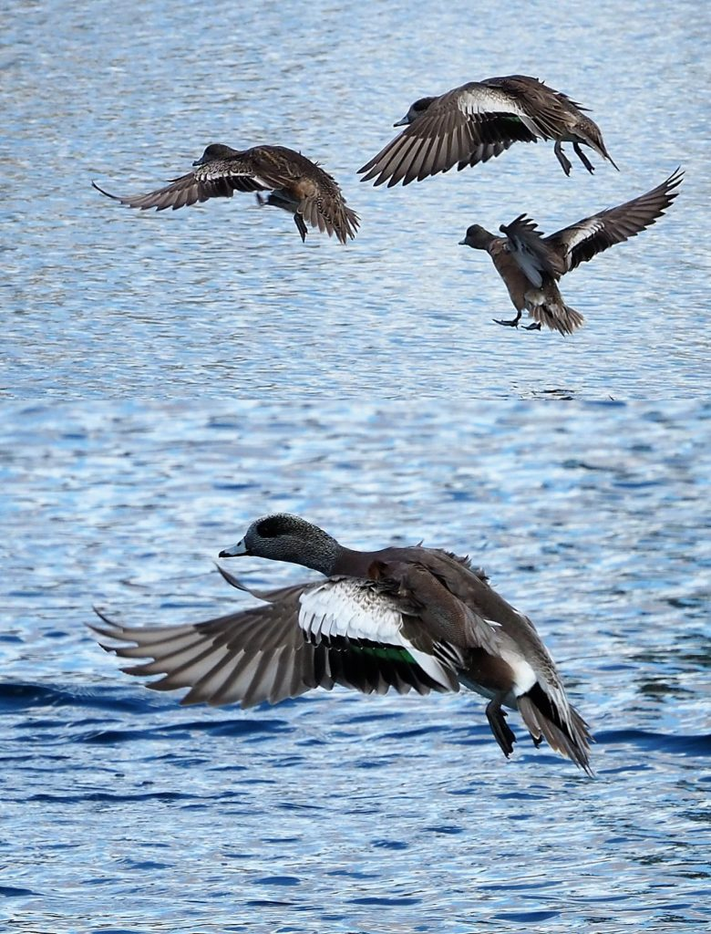 2-photo collage of American wigeons in short-haul flight