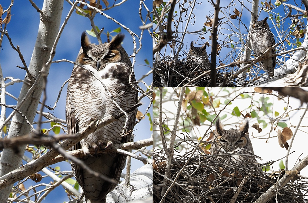 Pair of great horned owls on nest