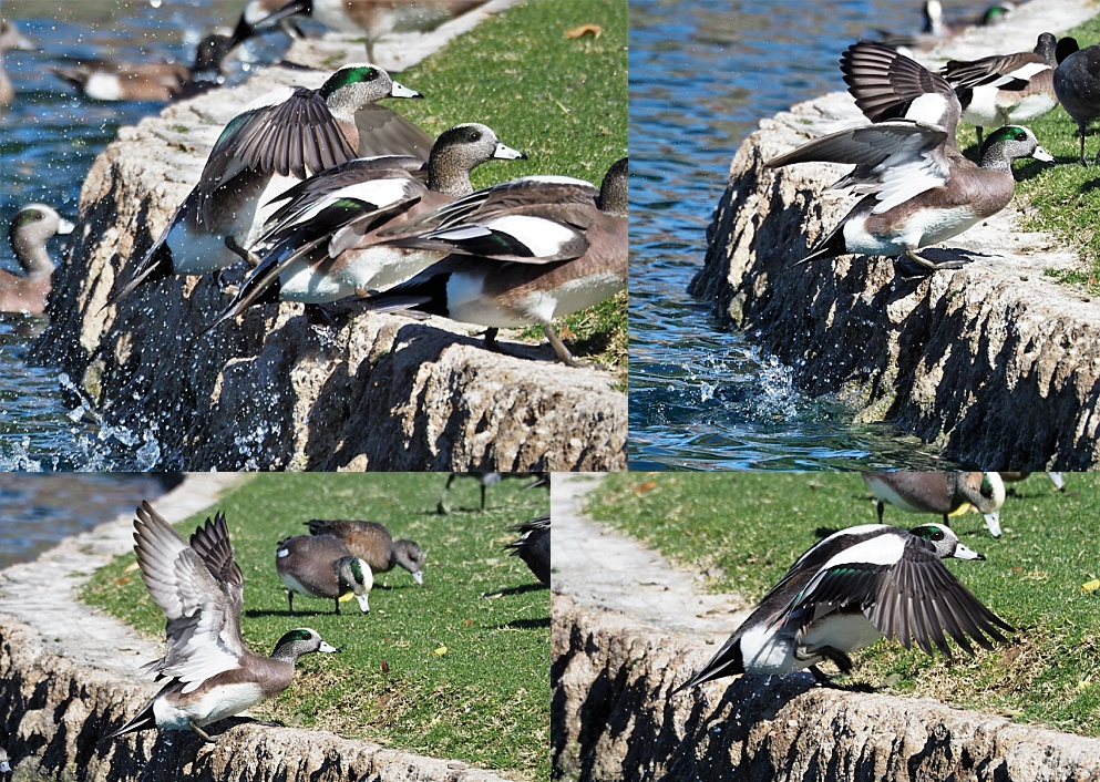 4-photo collage of American wigeons