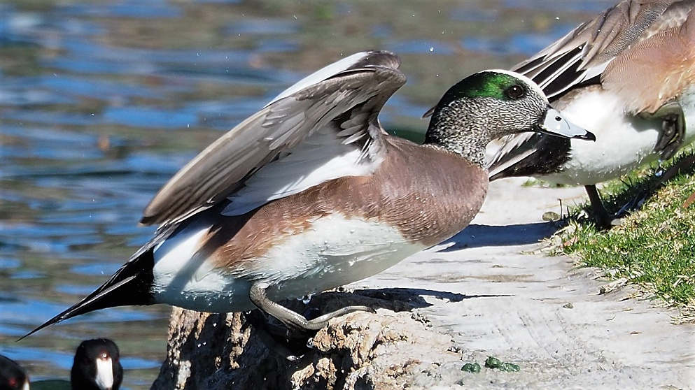 American wigeon in full sunlight
