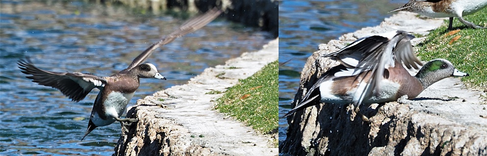2-photo collage of American wigeons landing on pond retaining wall