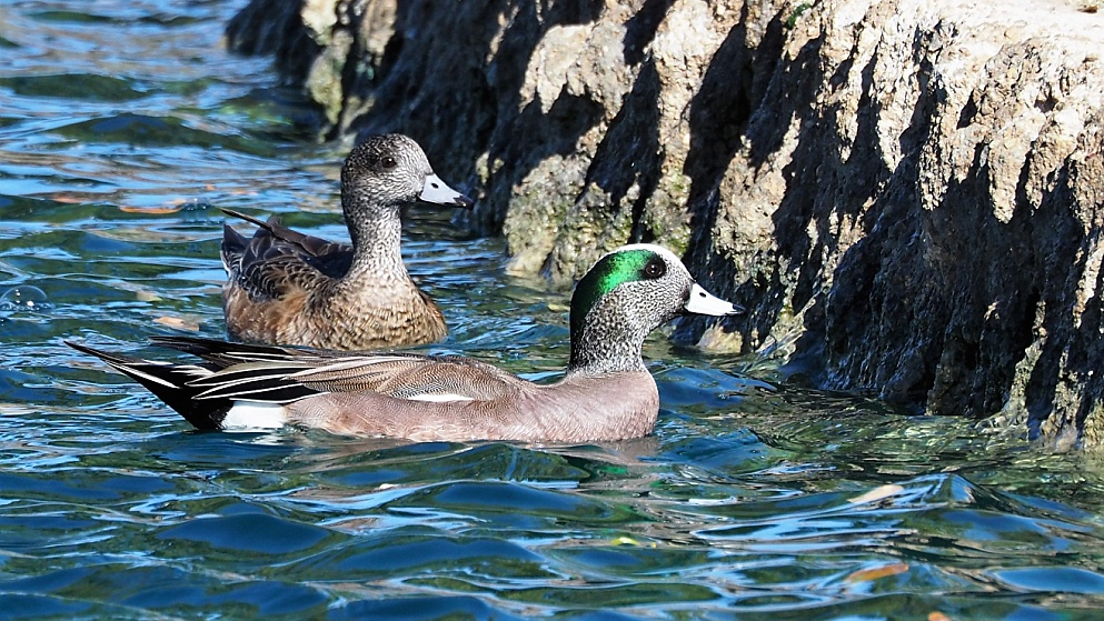 American wigeons in pond, at base of wall