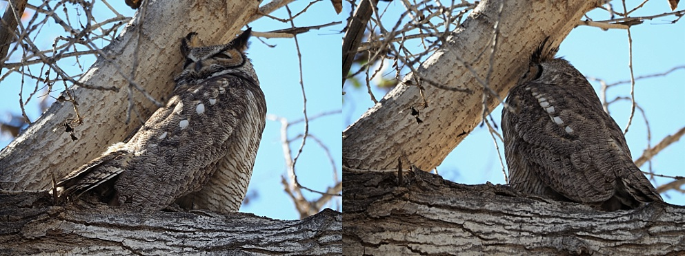 Great horned owl snoozing on a branch